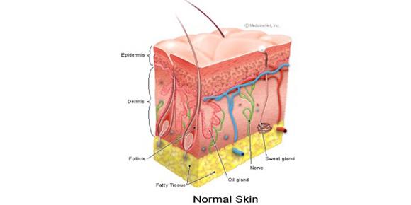 cross section of skin illustration